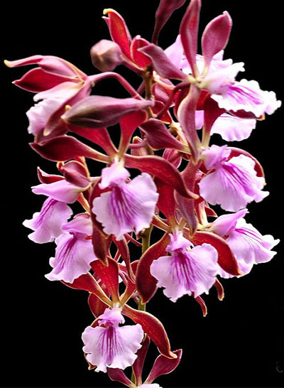 Encyclia phoenicea