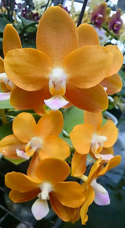 Phalaenopsis Miro Sun Beauty 'Goose Yellow'