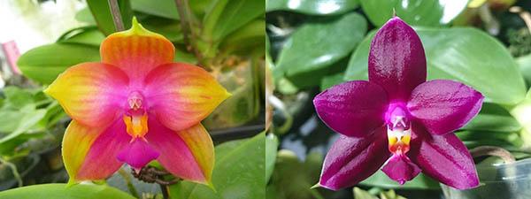 Phalaenopsis Miro Super Star 'Rainbow' x  Mituo Prima 'Mituo #1'