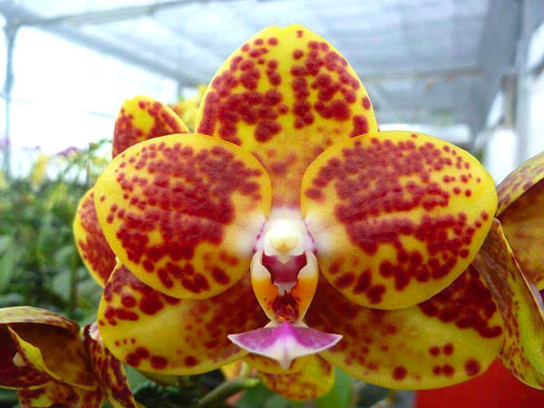 Phalaenopsis Mituo Golden Jewel 'Point'