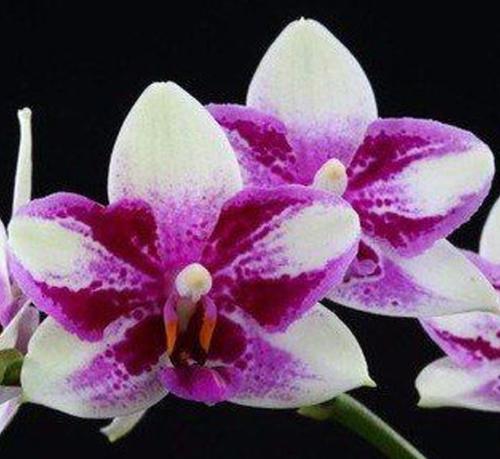 Phalaenopsis Jiaho Summer Love