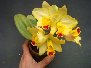 (Sophrocattleya Beaufort x Laeliocattleya Orglade's Glow) 'Kewpie'