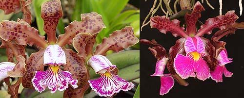 Cattleya schilleriana 'SVO II' x schilleriana 'Afri'