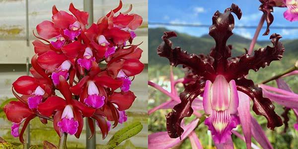 Laeliocattleya Summerland Girl 'Orchidglade' x Schomburgkia schultzei 'Old Sherry'