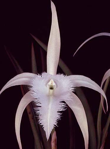 Brassavola George Tyler 'Diamond Orchids' x Brassavola digbyana 'Shamrock'
