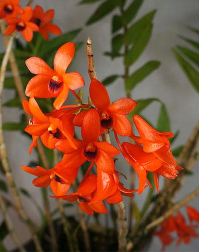 Dendrobium mohlianum