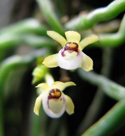 Taeniophyllum fasciola