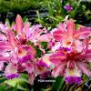 Myrmecophila thomsoniana x Cattleya intermedia
