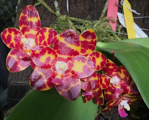 Phalaenopsis Jong's Gigan Cherry  'Prince'