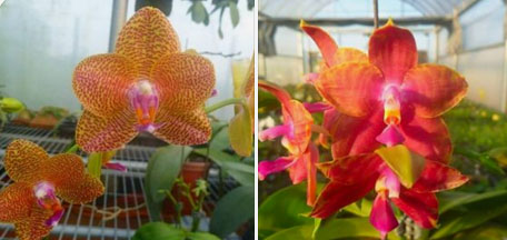 Phalaenopsis Mituo King 'Spider Web' x Black Eagle 'DT'