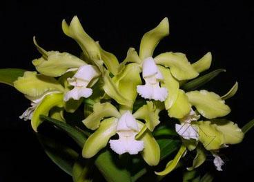 Cattleya leopoldii albina 'Dr Kley' x SELF