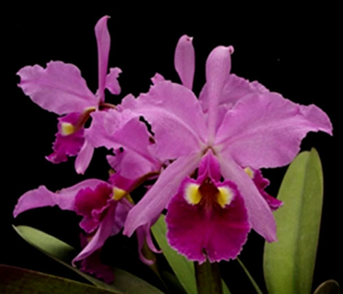 Cattleya warscewiczii sanderiana x self