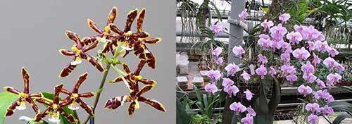 Phalaenopsis schilleriana x mannii black