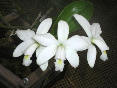 Cattleya violacea alba