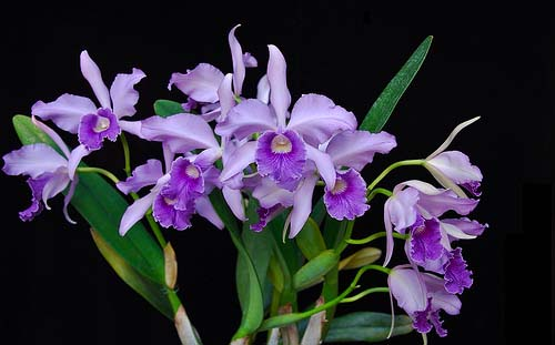 Цветение орхидеи Laeliocattleya Canhamiana coerulea 'Azure Skies'