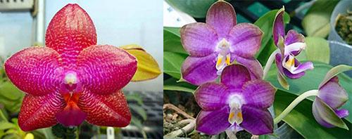 Phalaenopsis LD Sun Dragon 'MO98' x Mituo Reflex Dragon 'B1'