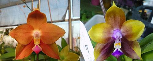 Phalaenopsis LD's Bear King 'Bronze' x Mituo Princess 'Blue'