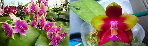 Phalaenopsis LD Bellina Eagle 'Red' x Mituo Princess 'YR'