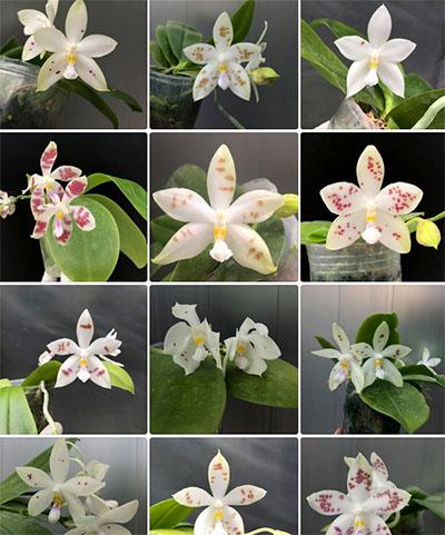 Phalaenopsis (speciosa 'All Purple' x Tzu Chiang Tetralitz)