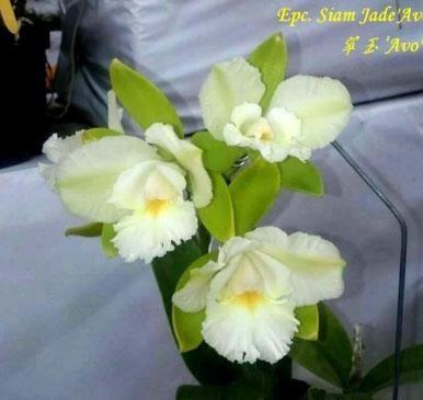 Epicattleya Siam Jade 'Avo'