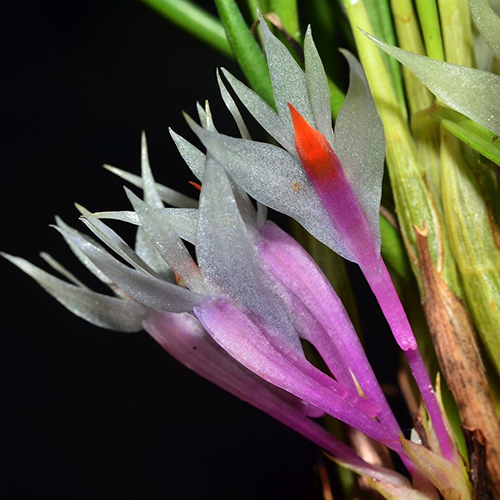 Dendrobium hellwigianum x hellwigianum Warren