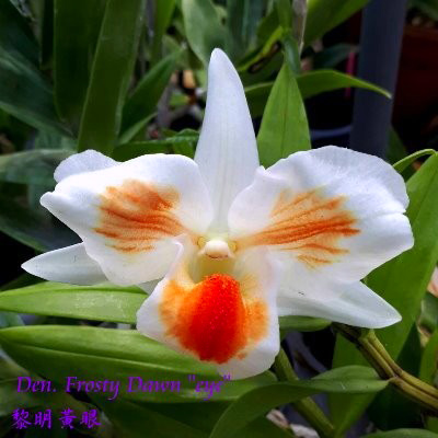 Dendrobium Frosty Dawn 'Eye' (formosa x Dawn Marie)