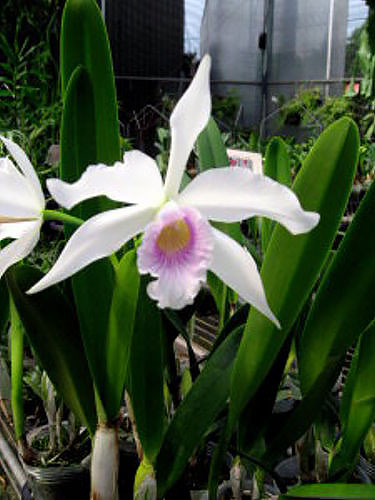 Laelia purpurata russelliana x self
