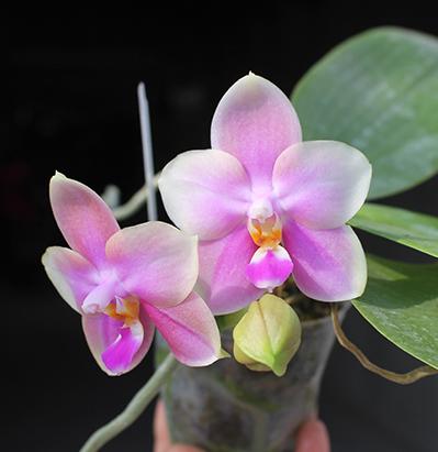 Phalaenopsis Sweet Memory