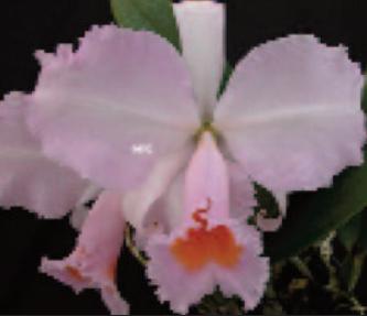 Cattleya schroderae x schroderae fma delicata (C)
