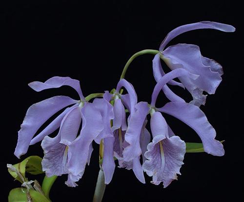 Cattleya maxima coerulea 'Hector' x 'Gigi-Autouro'