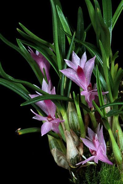 Dendrobium seranicum