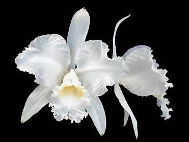 Cattleya lueddemanniana (alba x alba BV)