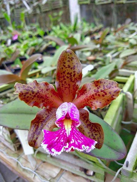 Cattleya schilleriana 'Guarapari' x '99'