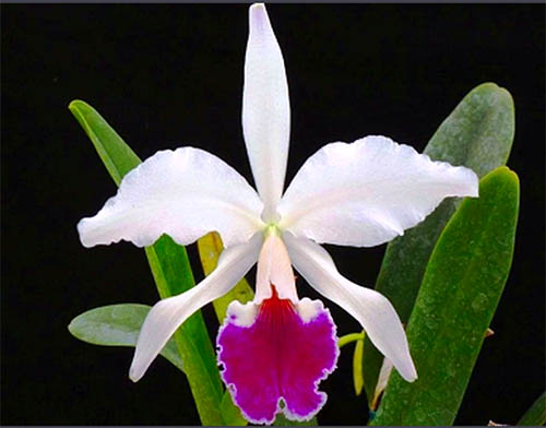 Cattleya jenmanii semi-alba ('Canaima's Lipstick' x 'Kathleen')