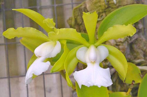 Cattleya aclandiae alba 'SVO' AM/AOS x self