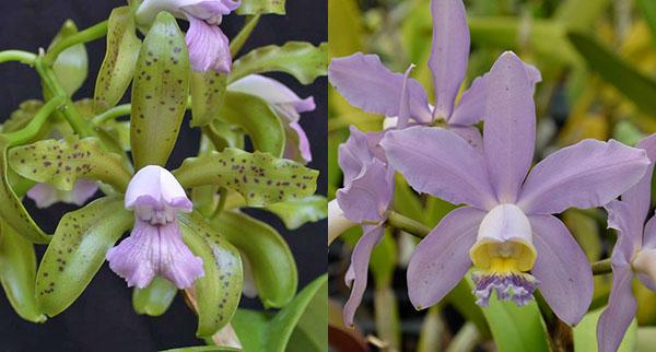 Cattleya leopoldii coerulea 'Kathleen' JC/AOS x Cattleya Pittiae coerulea 'SVO Best'