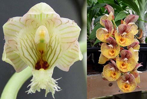 Clowesetum White Magic (Cl. warczewitzii 'SVO' x Ctsm. Orchidglade 'Davie Ranches' AM/AOS)