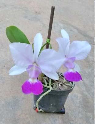 Cattleya walkeriana suave carnea 'Kuroda' x aquini gloriosa