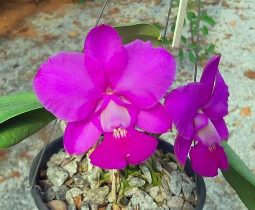 Cattleya walkeriana tipo 'Tuta' x 'Carola'