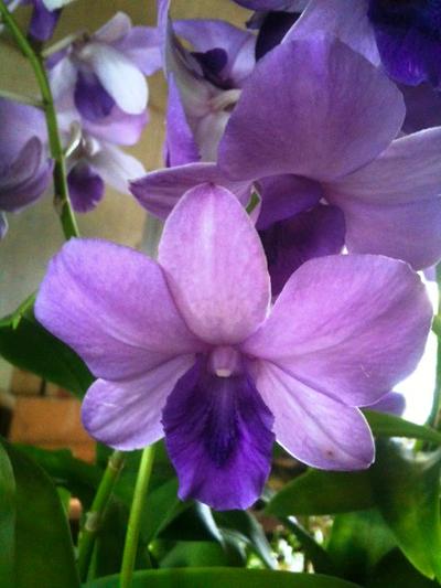 Dendrobium Blue Planet