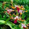 Dendrobium Lasian Yellow Red Lip