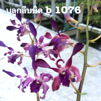 Dendrobium POF B #1076