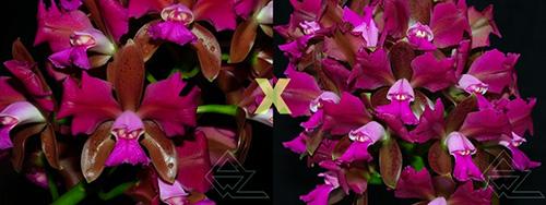 Cattleya leopoldii trilabelo ('Monte Verde' x 'AWZ')