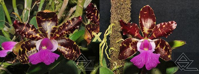 Cattleya aclandiae tipo 'Oxente' x dark 'Rainha da bateria'