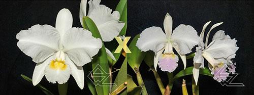 Cattleya lueddemanniana (alba 'Orion' x carnea 'Drago')