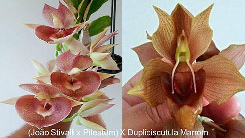 Catasetum ((Joao Stivalli x pileatum) x duplisciscutula))