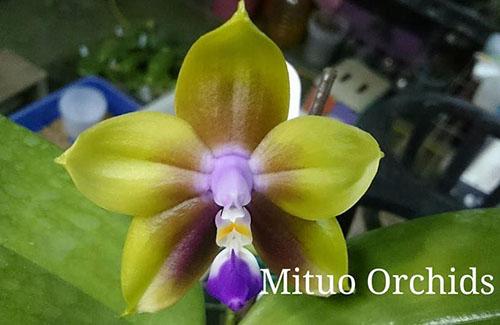 Phalaenopsis Mituo Princess 'Sapphire'
