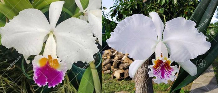Cattleya Trimos semialba (trianae semialba x mossiae)