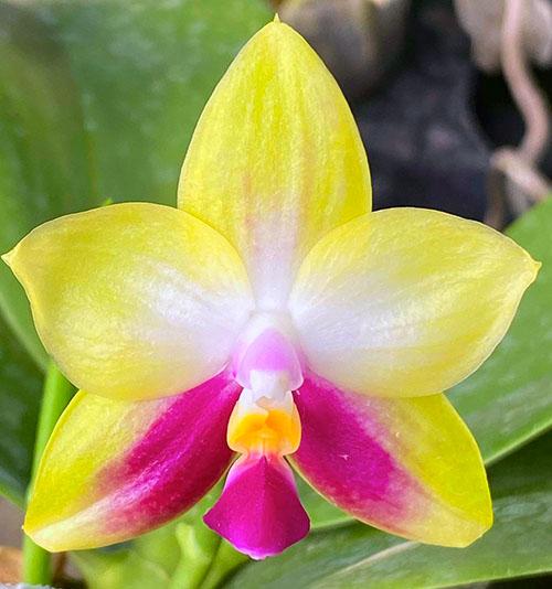 Phalaenopsis (Yaphon Evergreen x  Zheng Min Muscadine ) 'Red Ribbon'