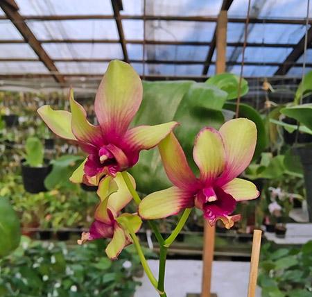 Dendrobium Jairak Splash